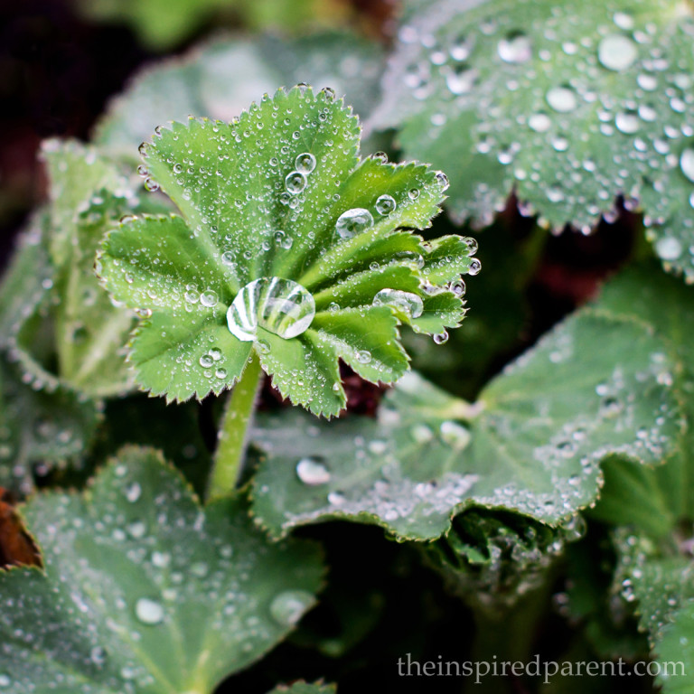 Lady's Mantle - one of my favorites! | theinspiredparent.com