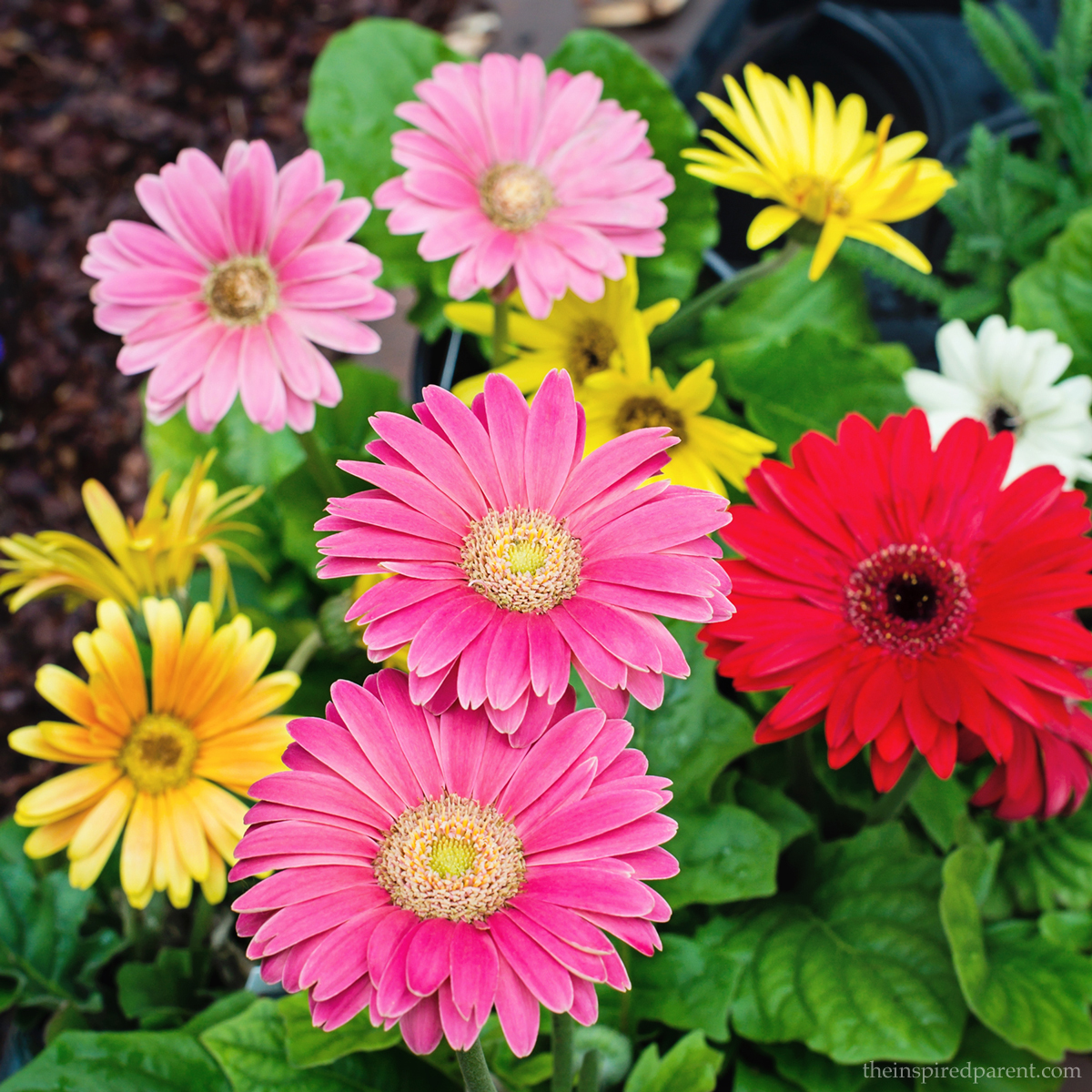 Colorful containing the inspired parent quite possibly my favorites gerbera daisies are such happy little flowers weve had great success planting these in containers theyre a great element izmirmasajfo