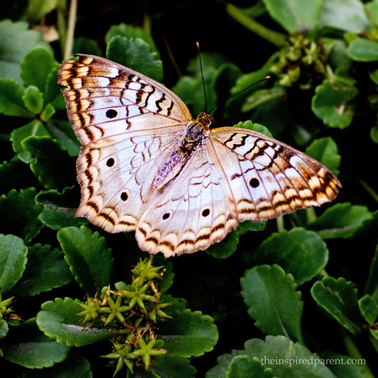 This one is a White Peacock (Anartia jatrophae). Some were more blue than others and some had brighter edges.