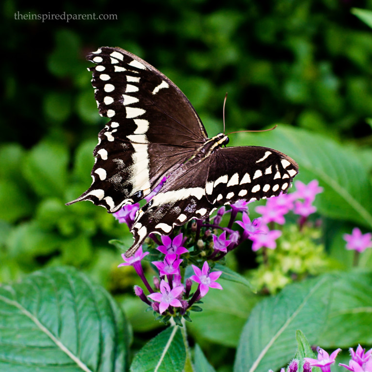 Love watching the Swallowtails. We get different varieties in our yard, too. Can't wait to see which ones appear this year!