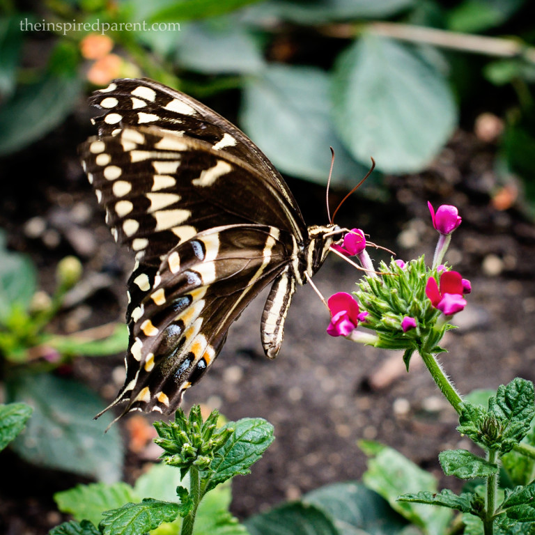 Another lovely little Swallowtail. :)