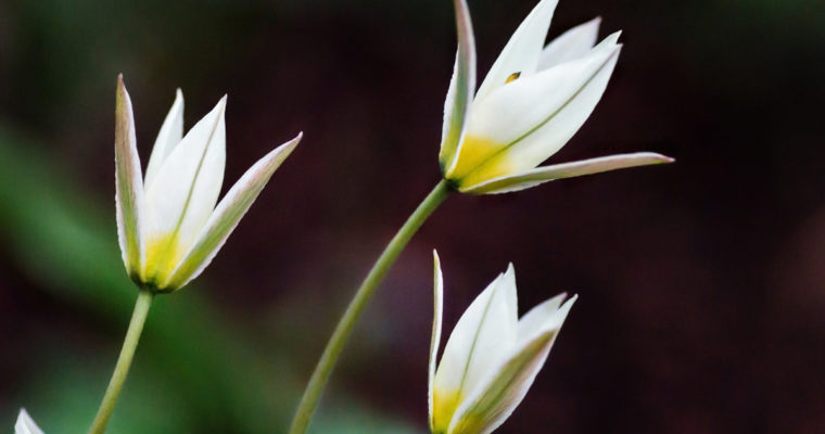 Early-Blooming Tulipa Turkestanica